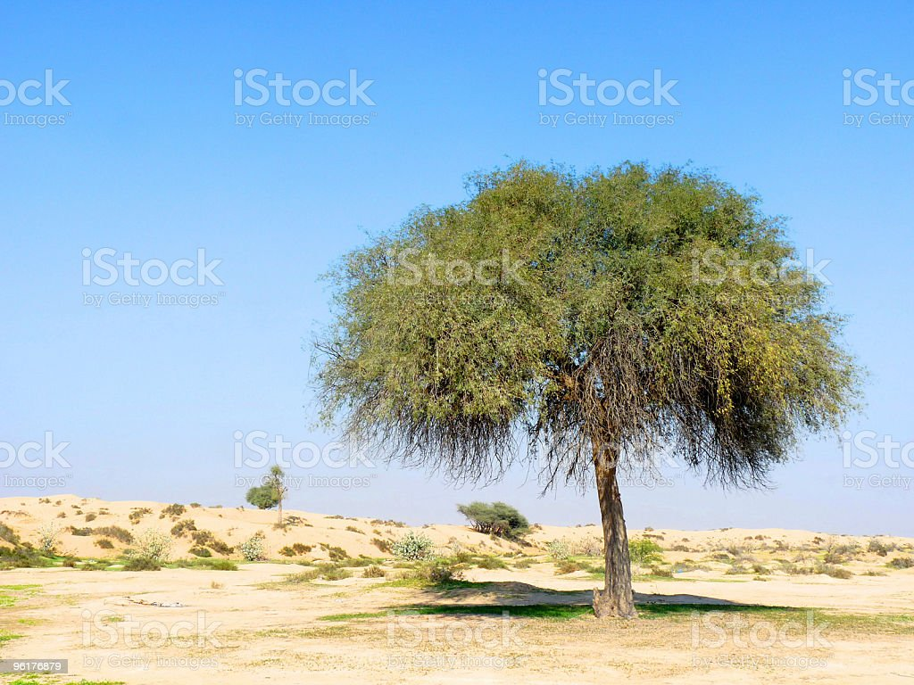 Single Green Tree in Desert royalty-free stock photo