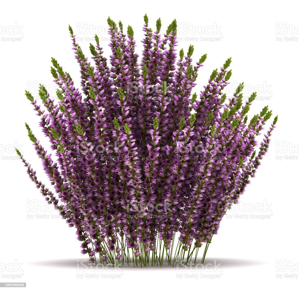 Single Heather Plant Single Heather Plant (isolated white background) Branch - Plant Part Stock Photo