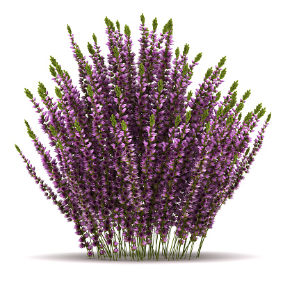 Single Heather Plant Stock Photo - Download Image Now