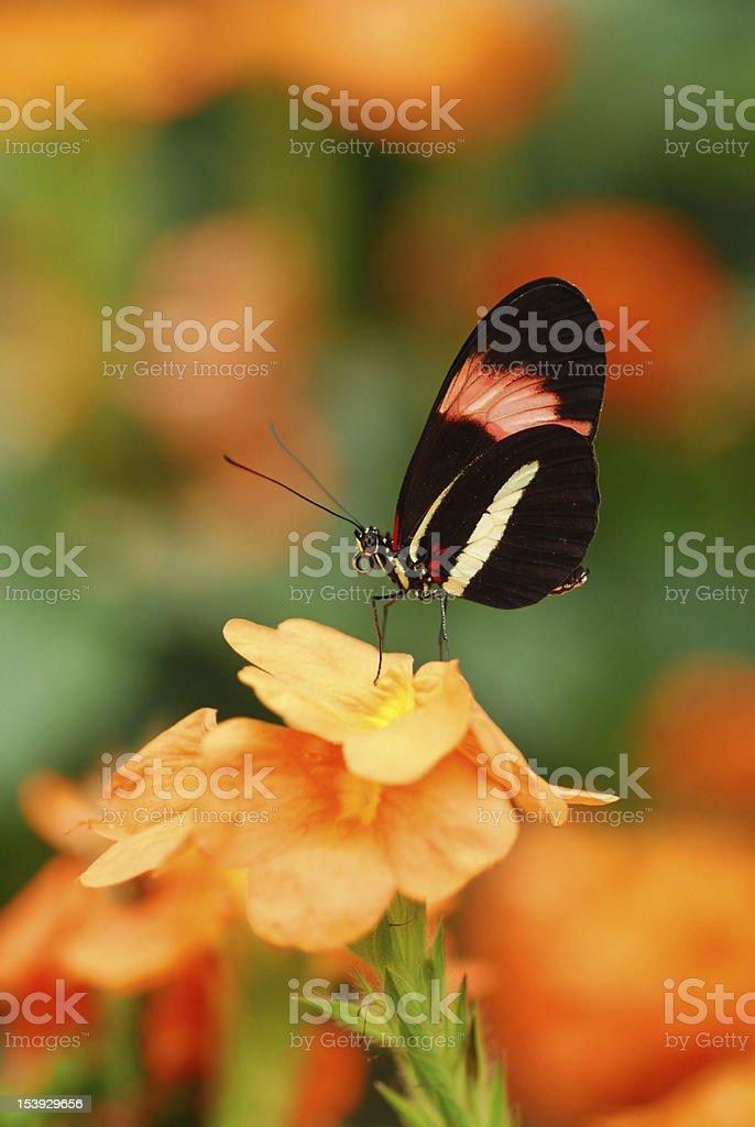 Single Heliconius erato on tropical flower stock photo