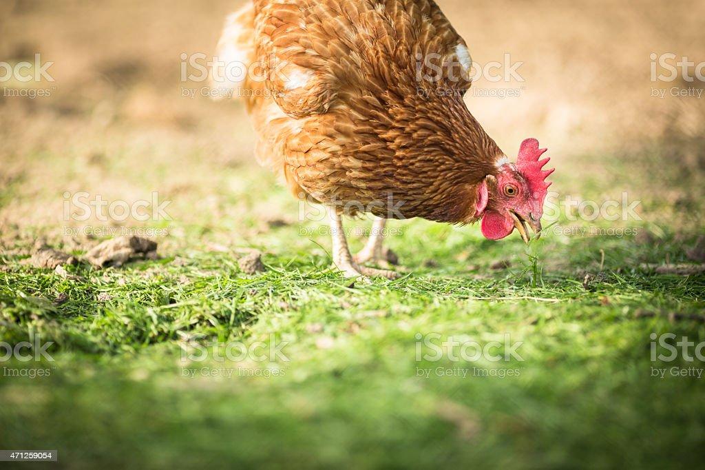 Single hen in a farmyard pecking the grass stock photo