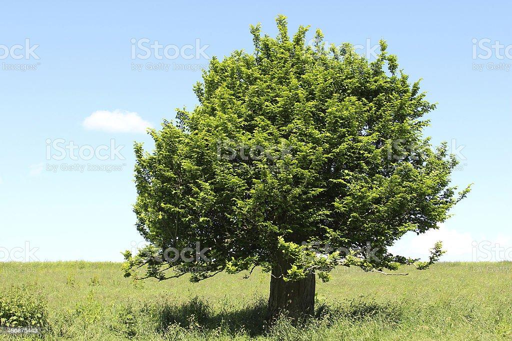 Single hornbeam tree (carpinus) in green field, blue sky, clouds stock photo