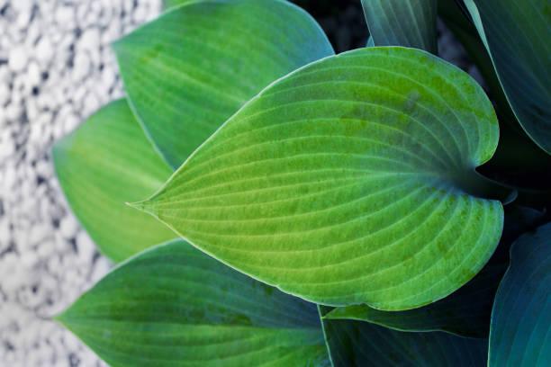 Single Hosta plant leaf with groovy texture on white pebble stones background stock photo