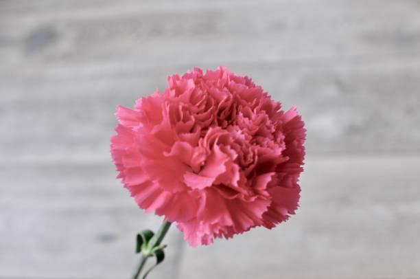 Single Hot Pink Carnation stock photo
