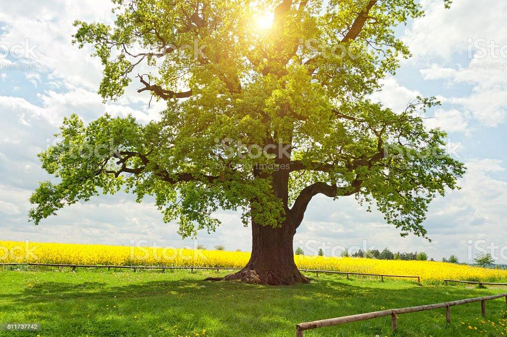 Uma enorme árvore de carvalho em campo na luz do sol canola - foto de acervo