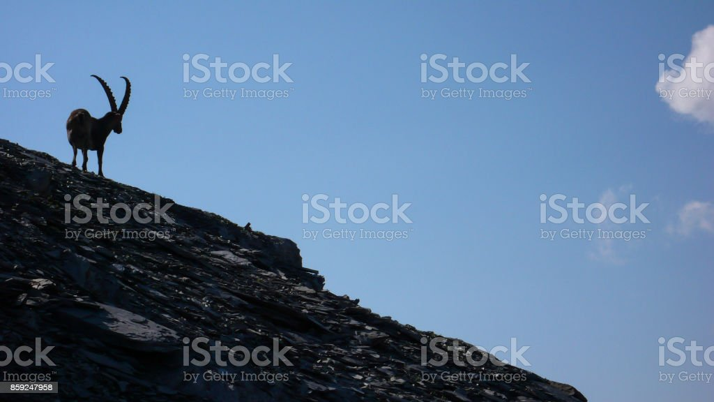 single ibex on a scree slope in the Swiss Alps