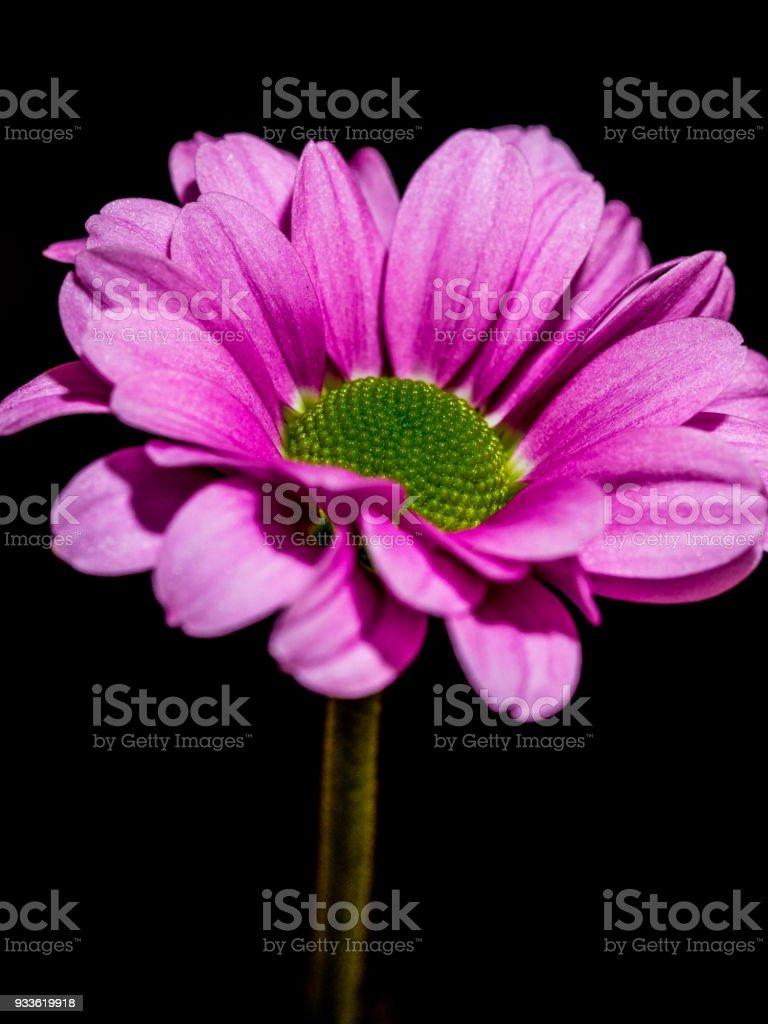 Single isolated pink Chrysanthemum stock photo