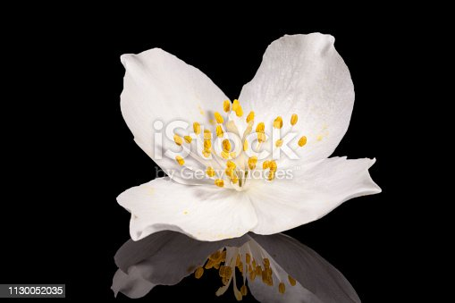 Single jasmine flower isolated on black background, mirror reflection