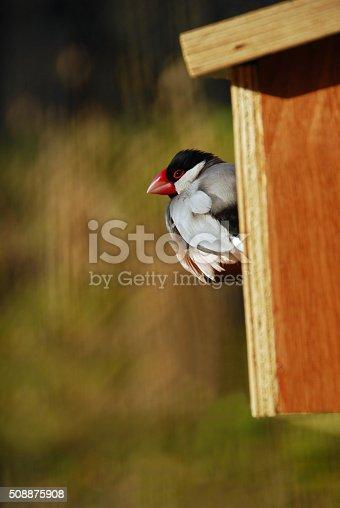 Single Jva Sparrow infront of a nesting box.