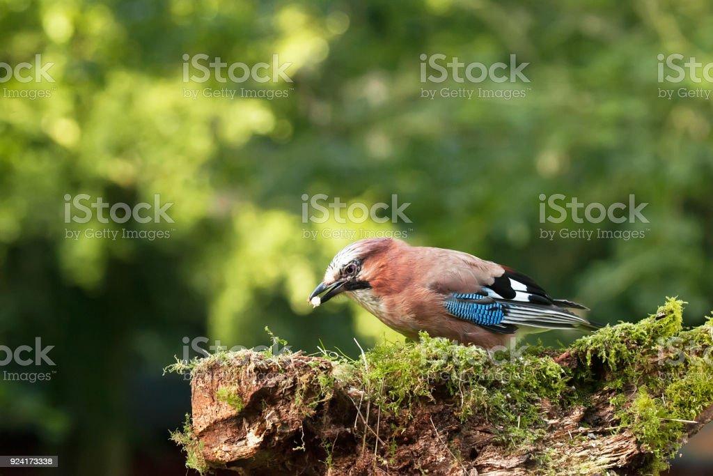 Single Jay bird feeding stock photo
