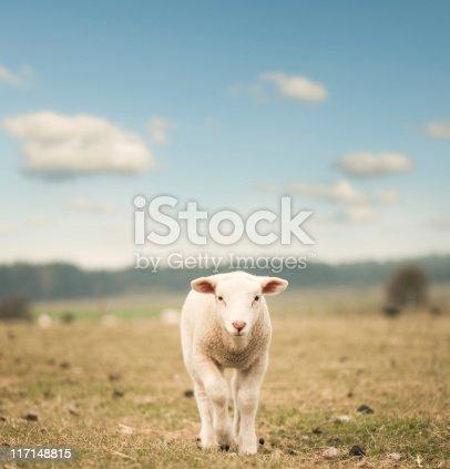 Single lamb on the field