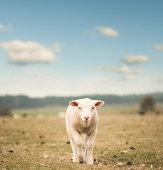 istock Single lamb on the field 117148815