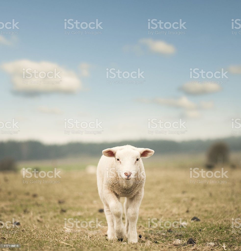 Single lamb on the field stock photo