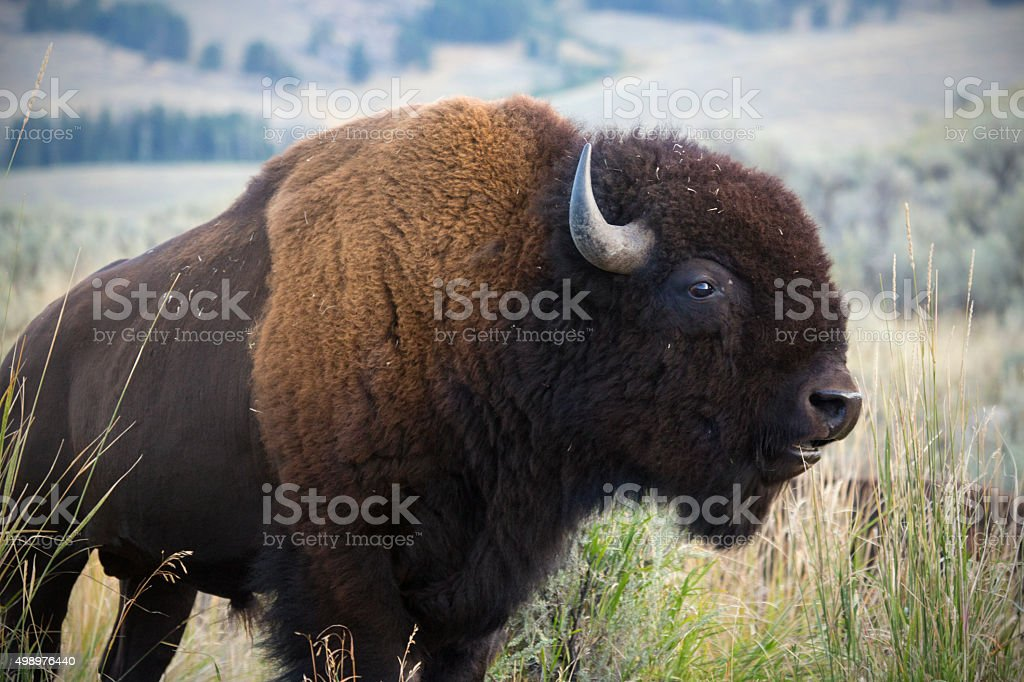 Single large bison in grasslands of Yellowstone National Park, W stock photo