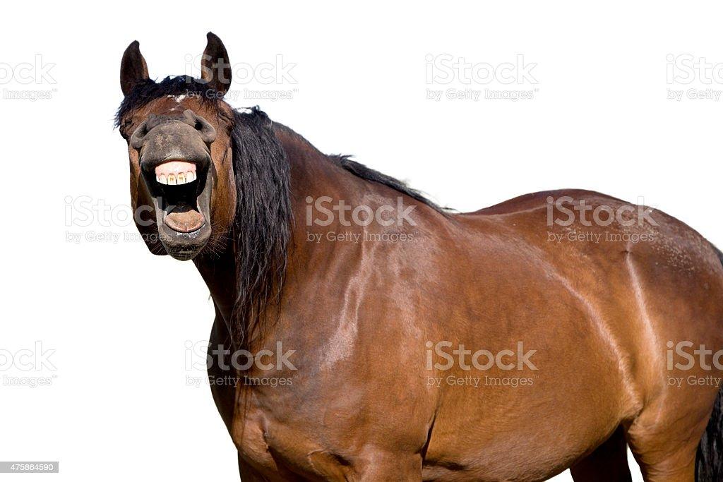 Single lauging horse stock photo