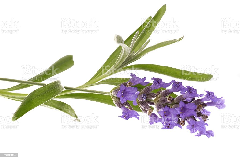 Single lavender flower on white background royalty-free stock photo