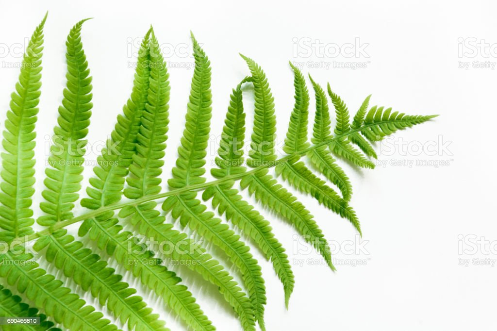 single leaf of fern on white background top view isolated with copy
