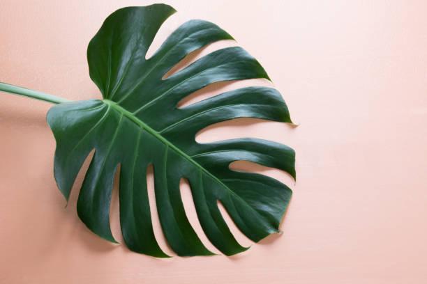 vantail de monstera plante sur fond rose. gros plan, isolé avec l'espace de la copie. - motif tropical photos et images de collection