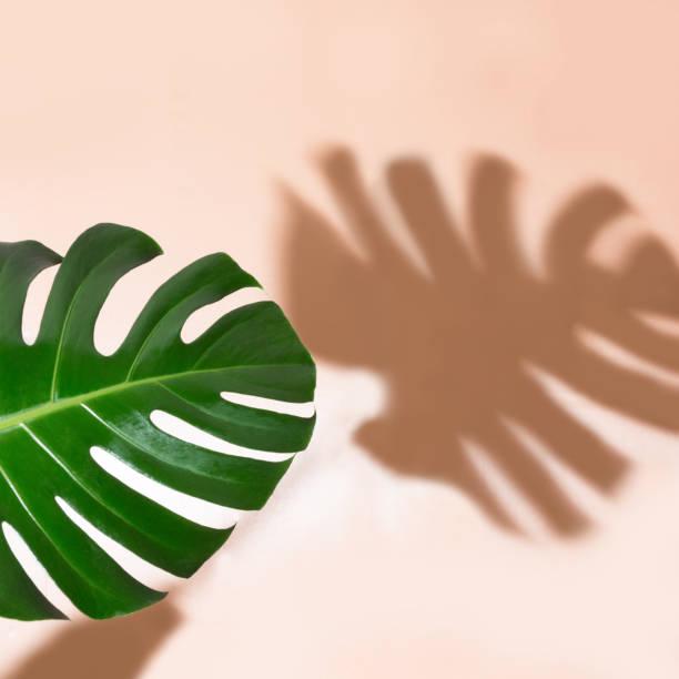 einzelnes blatt monstera pflanze auf rosa hintergrund. mit textfreiraum isoliert. - blumenstreifen stock-fotos und bilder