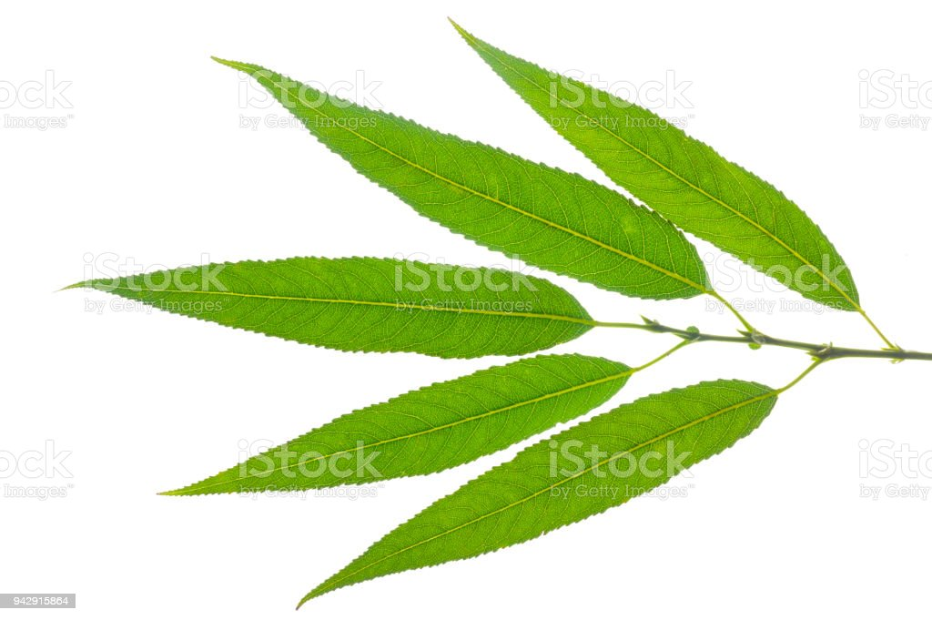 single leaf of willow tree isolated over white background stock