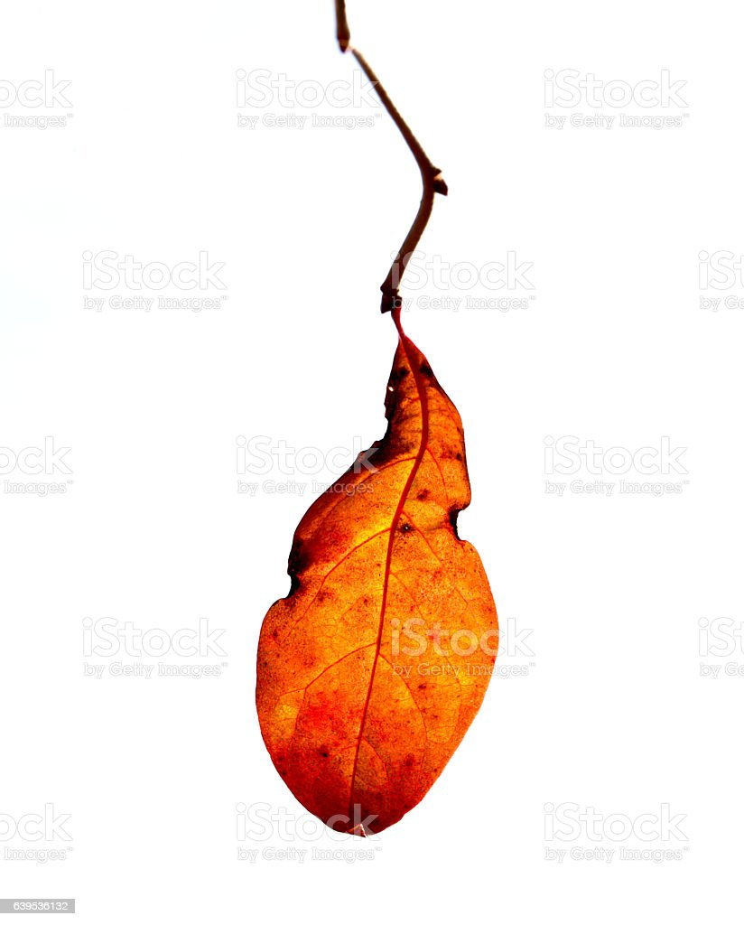 Single Leaf on the End of Branch stock photo