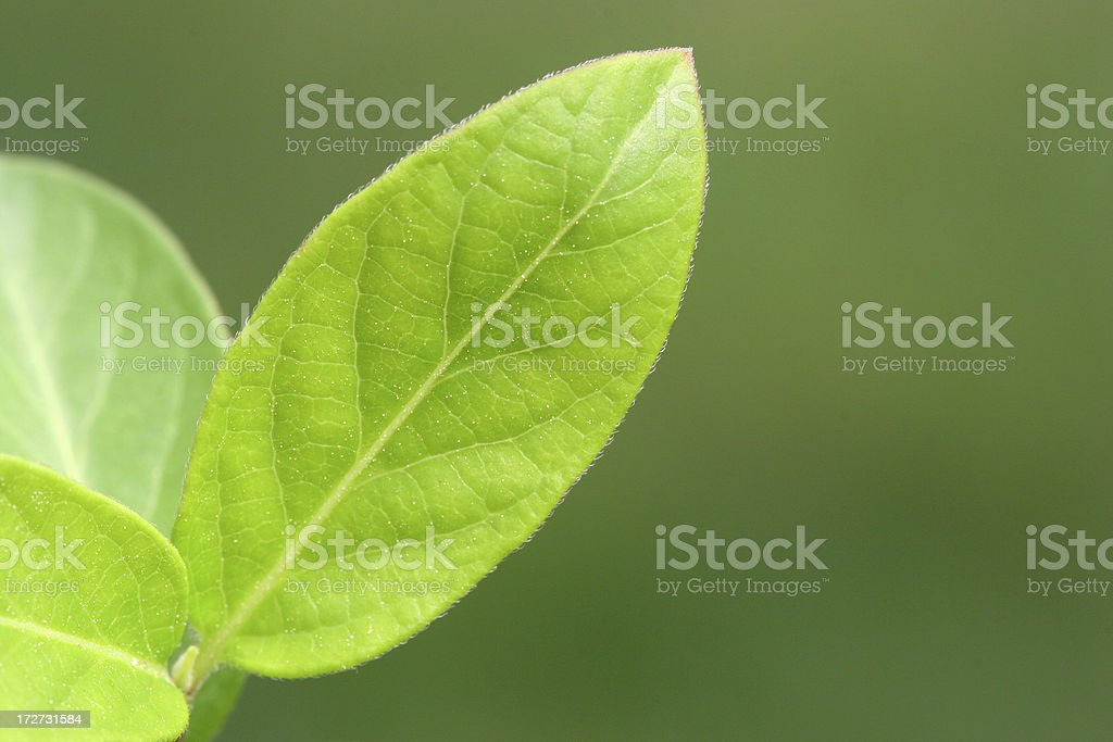 Single leaf royalty-free stock photo