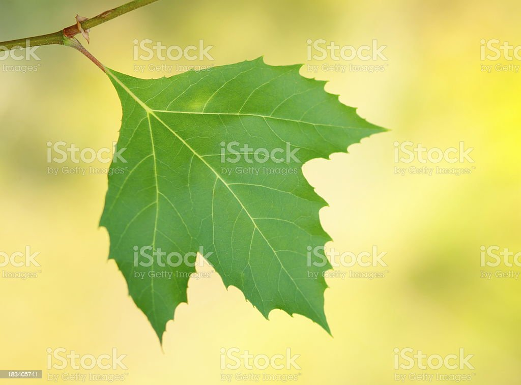 Single Leaf royalty-free stock photo