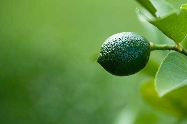 Single Lime with Copy Space stock photo
