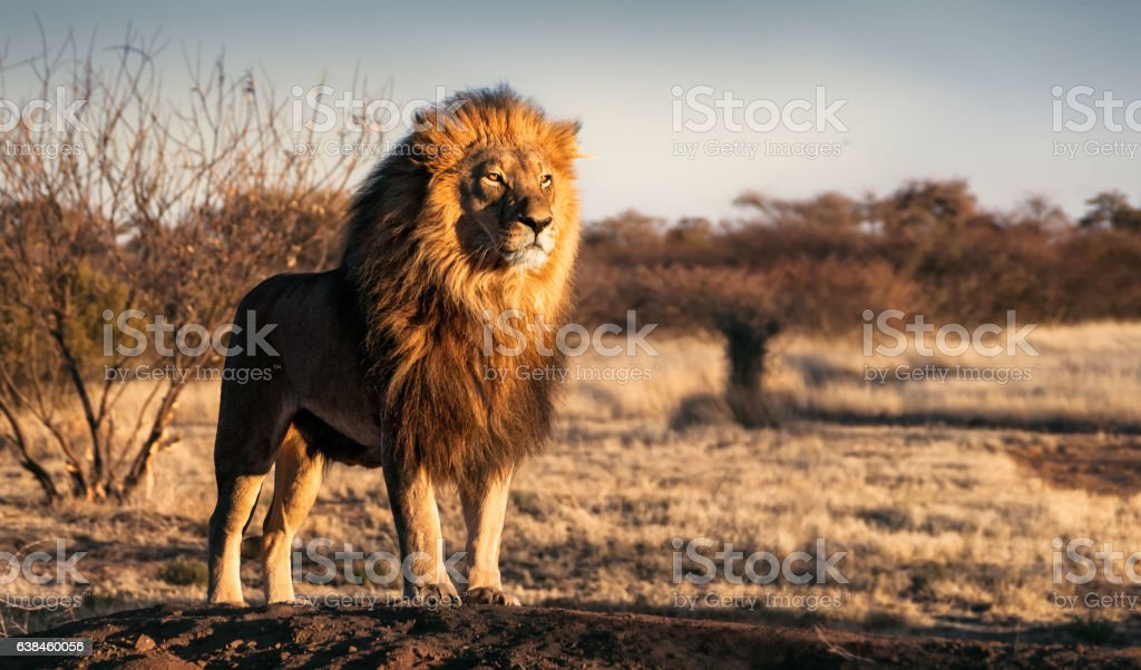 Single lion standing proudly on a small hill stock photo