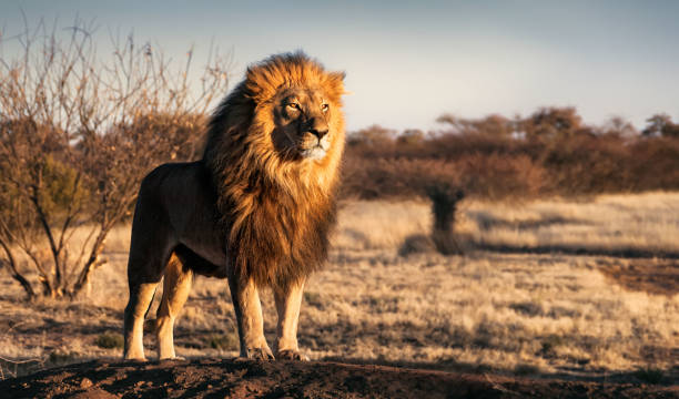 single lion standing proudly on a small hill - lion stock photos and pictures