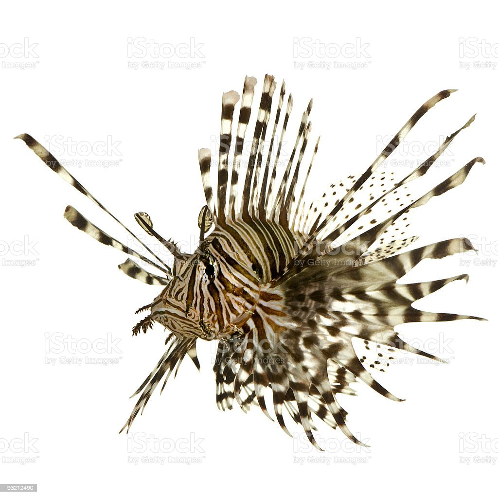 A single lionfish on a white background stock photo