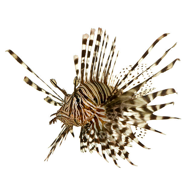 a single lionfish on a white background - lionfish stock photos and pictures