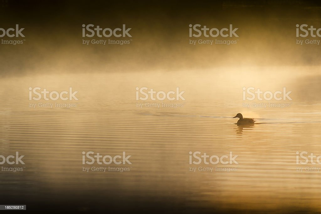 Single Lonesome Duck Swims Quietly At Sunrise On Mistly Lake royalty-free stock photo