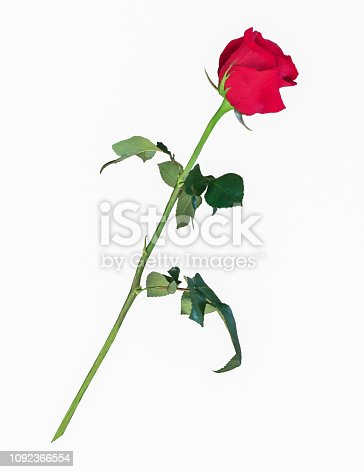 A single bright beautiful long stem red rose flower with green leaves, cut out on a white background.