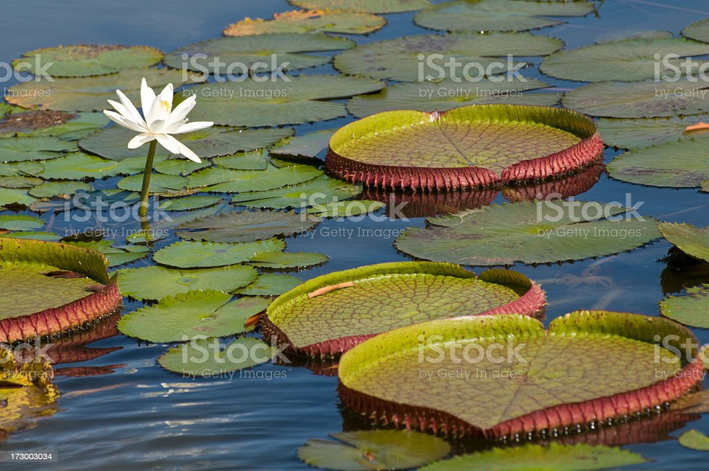 Single lotus blooming among lily pads in the Amazon stock photo