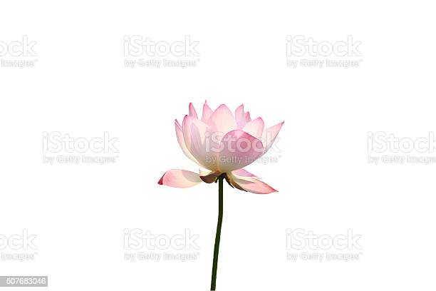 Single lotus flower in sun picture id507683046?b=1&k=6&m=507683046&s=612x612&h=4osgr rjkkxioa3maqa4g96uxkcnx6mzdmmrta7if s=