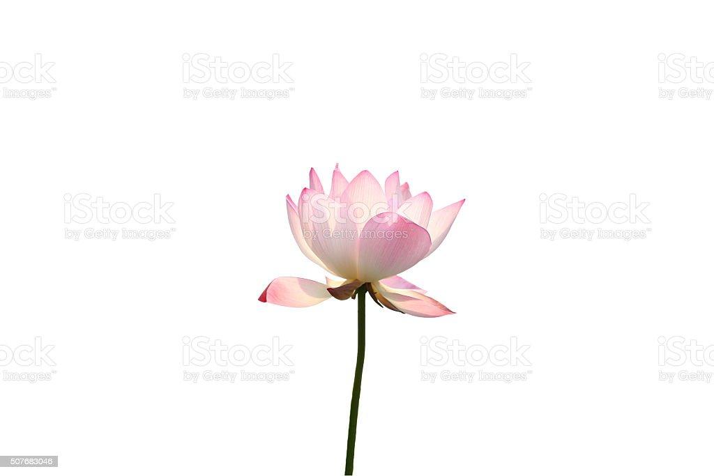 Single lotus flower in sun stock photo