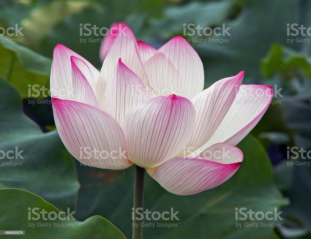 Single Lotus Flower Oil Paint Stylization Stock Photo More