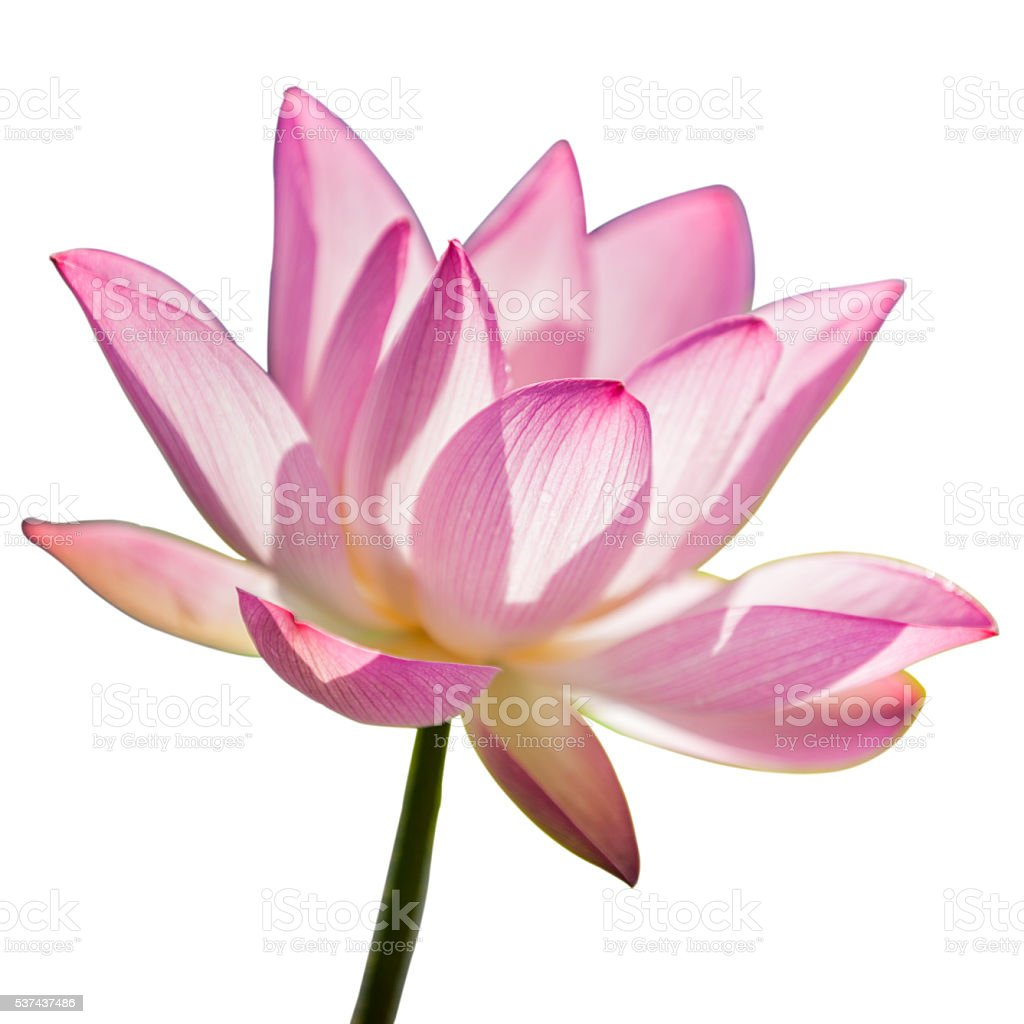 Single lotus on the white background stock photo