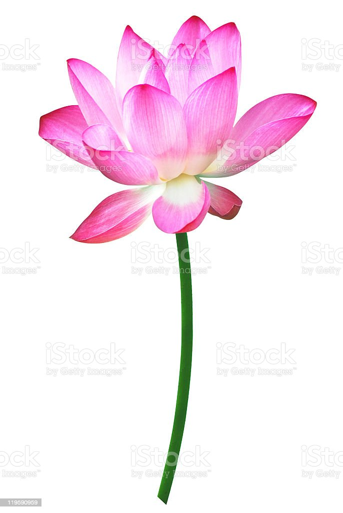 Single lotus with white background royalty-free stock photo