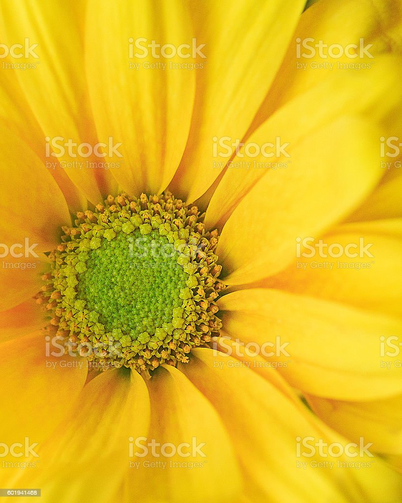 Single macro yellow daisy flower with green center stock photo single macro yellow daisy flower with green center royalty free stock photo mightylinksfo