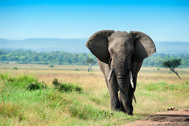 Single male Elephant in the Masai Mara A single male Elephant in the green plains of Masai Mara. african elephant stock pictures, royalty-free photos & images