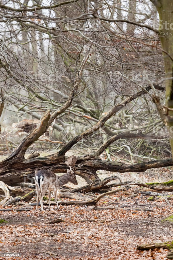 Single male fallow deer royalty-free stock photo
