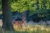 istock Single male red deer 1279152826