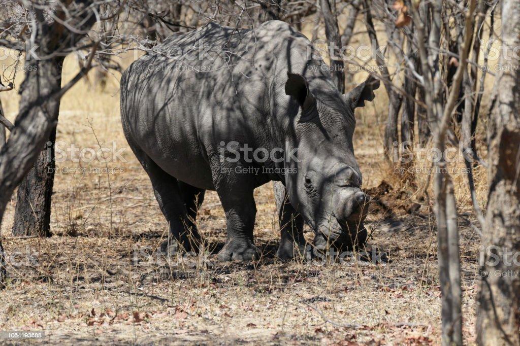 Single male white rhinoceros Ceratotherium simum Zimbabwe stock photo