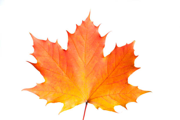 single maple leaf autumn colored isolated over white background - maple leaf stock pictures, royalty-free photos & images