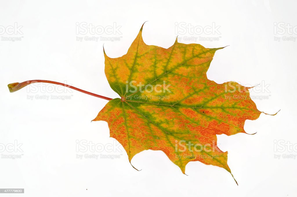 single maple leaf in autumn stock photo
