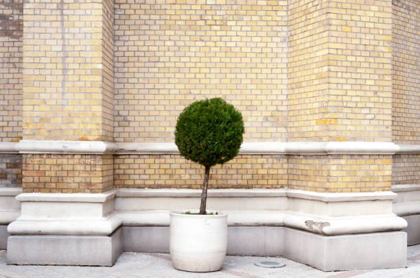 einzelne miniaturbaum in den großen blumentopf als stadt straßendekoration mit gelben backsteingebäude wand hintergrund - blumentopf groß stock-fotos und bilder