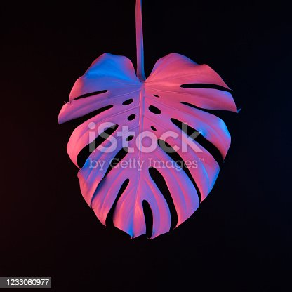 Single monstera leaf lit with neon light on abstract black background isolated. Copy space.