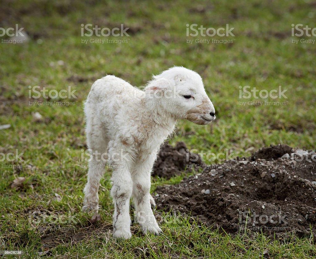 Single new born lamb royalty-free stock photo